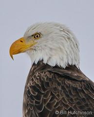 November 29, 2019 - Bald eagle portrait. (Bill Hutchinson)