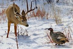 November 27, 2019 - Deer meets turkey before Thanksgiving. (Bill Hutchinson)