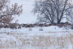 November 28, 2019 - An elk herd in the foothills. (Tony's Takes)