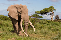Bull Elephant - Loxidonta africana (rosebudl1959) Tags: amboseli craig bullelephant kenya november 2019 bigtusker zebraplainsamboseli