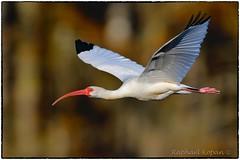 White ibis (RKop) Tags: florida raphaelkopanphotography d500 600mmf4evr tampa nikon nature birds wildlife