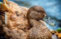 The Ducky :) (Igor Danilov Philadelphia) Tags: duck pet wildlife funny friendly