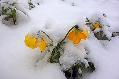 today's snow (majka44) Tags: flower yellow snow nature 2019 winter white green macro leaves nice atmosphere contrast december