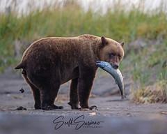 Monday's... 💩👎😳 (DTT67) Tags: nature canon wildlife bear alaska mammal grizzlybear bearpoop lakeclark coastalbrownbear canon1dxmkii