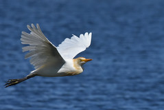 Cattle egret in a casual flight (jeans_Photos) Tags: cattleegret bubulcusibis heron white southperth swanriver westernaustralia australia bird