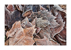 Frozen Leaves (PeteZab) Tags: leaves leaf ice frozen nature detail texture woodthorpepark nottingham peterzabulis