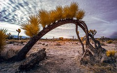 Joshua Tree National Park (Jose Matutina) Tags: joshuatreenationalpark california infrared life pixel landscape desert