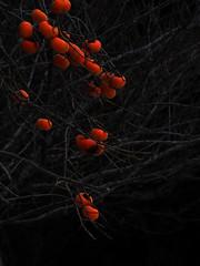 persimmons which are fully ripened (murozo) Tags: 柿 果物 木 冬 persimmon fruits tree winter nikaho akita japan にかほ 秋田 日本