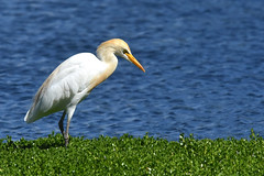 Cattle egret concentrating hoping to see an insect (jeans_Photos) Tags: southperth swanriver westernaustralia australia cattleegret bubulcusibis heron white bird