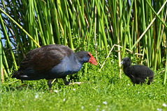 Swamp hen and chick (jeans_Photos) Tags: southperth swanriver westernaustralia australia bird swamphen purpleswamphen