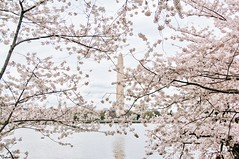What a strange thing! (gusdiaz) Tags: cherryblossoms cherry blossoms washigntonmonument washington monument pastel colors colores pasteles branches ramas flowers flores beautiful hermoso water reflection agua reflejo