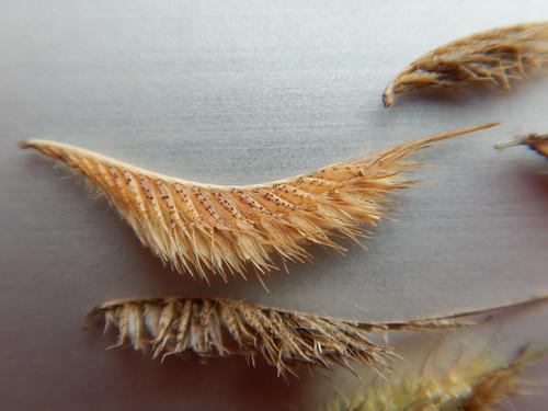 Bouteloua hirsuta - hairy grama