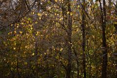 Autumn Colors - Trees (Modkuse) Tags: trees autumn autumnleaves autumnlandscape autumncolor autumncolors fall fallcolors fallcolor nature natural natureart art artphotography artistic artisticphotography photoart colorful astia astiasimulation fujifilmastiasimulation fujifilmxh1astiasimulation fujifilm fujinon fujifilmxh1 xh1 fujinonxf1655mmf28rlmwr xf1655mmf28rlmwr
