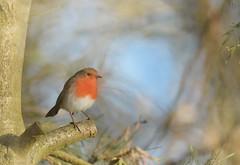 On the 2nd Day of December... (KissThePixel) Tags: robin robinredbreast redrobin bird christmas december cold frosty tree longacremanor garden winter nature birdwatching nikon tamron 150600mm nikond750