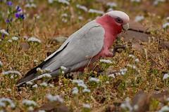 foraging Galah (or Rose-breasted Cockatoo) (cirdantravels (Fons Buts)) Tags: cirdantravels fonsbuts australia australianwildlife wildlifephotography naturalhabitat natur natuur nature wildanimal