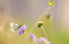 PapillonGazé2129-2019-LU-PS (Nicole Barge) Tags: pieridedelaubépine aporiacrataegi gazé france papillon loire 42 2019 pieridae lépidoptères bleunature nicolebarge