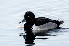 Ring-necked Duck (jt893x) Tags: 150600mm aythyacollaris bird breeding d500 drake duck jt893x male nikon nikond500 ringneckedduck sigma sigma150600mmf563dgoshsms