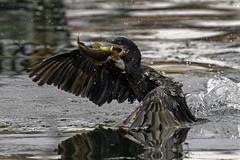 Neotropic cormorant | Cormoran vigua (shimmeringenergy) Tags: neotropiccormorant cormoranvigua phalacrocoraxbrasilianus lima peru pérou