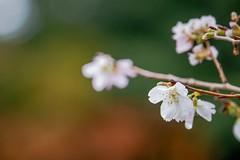Cherry  Blossom in Early Winter (somazeon) Tags: sakura cherryblossom flower lumix panasonic gx7