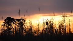 Sonnenaufgang im Bruch (IIIfbIII) Tags: canonphotography landschaftsfotografie landscapephotography landwirtschaft landscape silhouettes trees baum sunlight sun morgenlicht moor bog fantasticnature naturephotography naturfotografie natur nature mv mecklenburgvorpommern