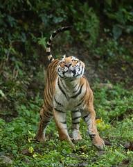 The Queen - Tiger!!! (Aravind Venkatraman) Tags: aravindvenkatraman aravind avfotography avphotography av canon india indian incredibleindia wildlife wildlifephotographer nature natural jungle wild tiger panthera tigris pantheratigris wildandfree
