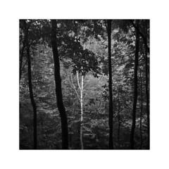 Slovakia 2019 (Jérôme B.) Tags: square squareformat rodinal tlr flexaret flexaretiii 120 film ilford tree trees