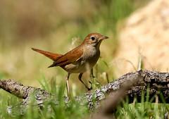Common Nightingale --- Luscinia megarhynchos (creaturesnapper) Tags: birds spain extremadura monfraguenationalpark commonnightingale lusciniamegarhynchos