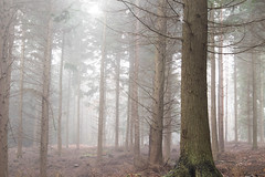 Pines in the Mist (craig.denford) Tags: ash ranges vale pine surrey