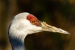 Sandhill Crane after digging in mud (dwb838) Tags: sandhillcrane portrait mud