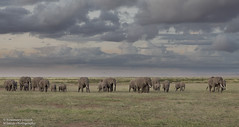 African Elephants - Loxidonta africana (rosebudl1959) Tags: 2019 amboseli elephants kenya november zebraplainsamboseli