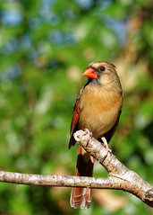 _DSC2934_DxO (Paul_1961) Tags: bird cardinal nature nikond7200 northwestflorida sigma120400mm wildlife