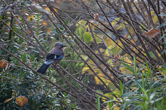 Jay (Garrulus Glandarius) (Rich Jacques) Tags: jay garrulusglandarius bird sheffield botanicalgardens winter 2019 wildlife wildlifephotography naturephotography nature