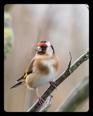 Goldfinch (keith.gallie) Tags: goldfinch twig december nikon red gold yellow wildlife bird birdwatching distinguishedbirds
