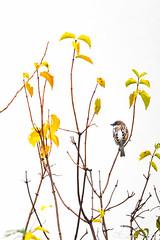 Moineau-8880 (gingkojac) Tags: mois6 oiseau ornithologie passereau moineau arbre branches feuilles automne 365mois6day9