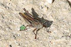 Eyprepocnemis plorans (Roy Lowry) Tags: grasshopper eyprepocnemisplorans whitebandedgrasshopper marsaxlokk birzebbuga