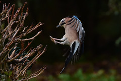 DSC_9200 Geai sportif (sylvette.T) Tags: animal oiseau geai sport jay 2019 bird