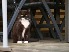 Second time out yesterday (vanstaffs) Tags: tussi tuzz tuxedocat t tux tusse tutu tuzz® myprettytuxedogirl