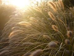 Morgensonne & Lampenputzergras (Jörg Paul Kaspari) Tags: winterlicht pennisetum lampenputzergras gras grass trier bobinetnord passage morgenlicht morgensonne unddiemorgensonneschien redhead reif raureif