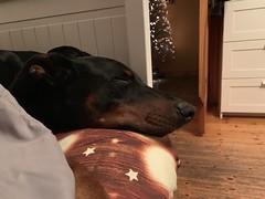 I'm Dreaming Of A White Christmas - Doberman Pinscher Saxon (firehouse.ie) Tags: pinschers pinscher dobermanns dobermann dobermans doberman dobies dobie dobeys dobey dobes dobe blackandtan black dogs dog saxon