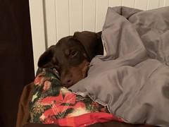 The Children Were All Snuggled Up In Their Beds - Children? - Doberman Pinscher Puppy Kaiser (firehouse.ie) Tags: k9 dogs dog pinschers pinscher dobermanns dobermann dobermans doberman puppies puppy pups pup