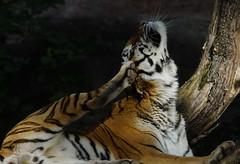 Tg Nbg                Yoga   ;-)                 190919 (Eddy L.) Tags: tiergartennürnberg tiergartenfreundenürnbergev nuremberg tiger samur ☆2662012 amurtiger sibirischertiger pantheratigrisaltaica tigredesibérie amurskiytigr siberiantiger tigresiberiana siberiantijger bigcat predator tigresiberiano beautifullight minoltaafhs28300mmg sonyalpha77ii teamsony wildcatworld wildfelinephotography eddyl2019