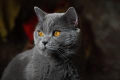 Antonio (Сonstantine) Tags: animals antonio canon catslife catsoftheworld catscatscats cats meowmeow meow meowbox british britishcats gray bokeh photo pic portrait