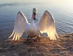 South Beach Swan1 (g crawford) Tags: swan bird ardrossan ayrshire northayrshire southbeach ardrossansouthbeach shore sea clyde panasonic lumix tz60 firthofclyde saltcoats crawford