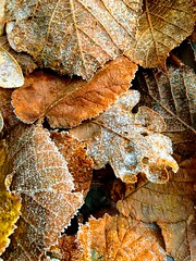 On a Cold and Frosty Morning (esallen52) Tags: leaves foliage frost autumn daytime outdoors fall garden textures