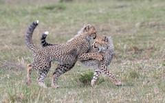 Cheetah cubs (tickspics ) Tags: africa cheetah maranorth kenya acinonyxjubatus felidae felinae iucnredlistvulnerable mnc maranorthconservancy