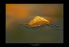A single leaf (Lucie van Dongen) Tags: leaf composition light autumn artistic macro proxi colrful automne simplicity
