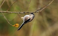 Long Tailed Tit (Steve Boolds) Tags: longtailedtit canon canoneos5dmkiv canon600mmf4 wildlife wildlifephotography bird birdphotography britishgardenbirds britishbirds