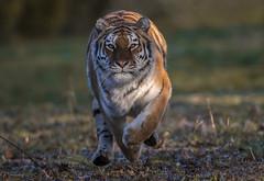 Route One (Jonnyfez) Tags: tschuna siberian amur tiger running eyes jonnyfez big cat predator straight yorkshire wildlife park
