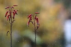 Protezione (lincerosso) Tags: piantegrasse crassulaceae autunno autumn pioggia colori fioritura infiorescenza bellezza armonia protezione