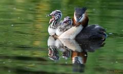 Fuut  - Great Crested Grebe -  Podiceps Cristatus (Wim Boon Fotografie) Tags: canoneos80d canon300mmf4lis14ex alblasserwaard alblasserdam nederland netherlands natuur nature fuut greatcrestedgrebe